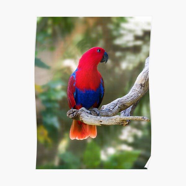 Female Electus Parrot Poster