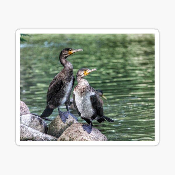 Cormorants Sticker