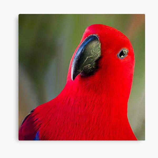 Female Electus Parrot - Close up Canvas Print
