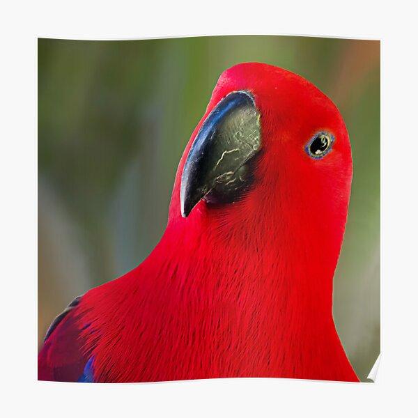 Female Electus Parrot - Close up Poster