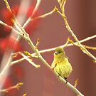 Young Goldfinch In Spring by K D Graves Photography