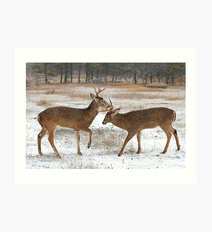 Battle of the Big Bucks - White-tailed deer Art Print