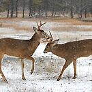 Battle of the Big Bucks - White-tailed deer by Jim Cumming