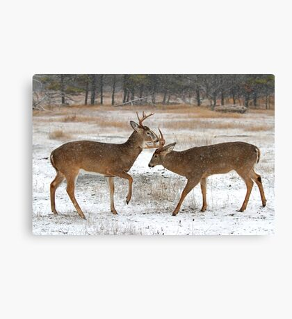 Battle of the Big Bucks - White-tailed deer Canvas Print