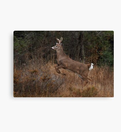 Early Morning Buck - White-tailed Deer Canvas Print