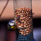Blue Tit enjoying some breakfast by Sue Fallon Photography