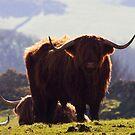 Highland Cow by Sue Fallon Photography