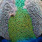 Colourful Peacock by Sue Fallon Photography