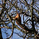 Red Squirrel In Tree by Sue Fallon Photography