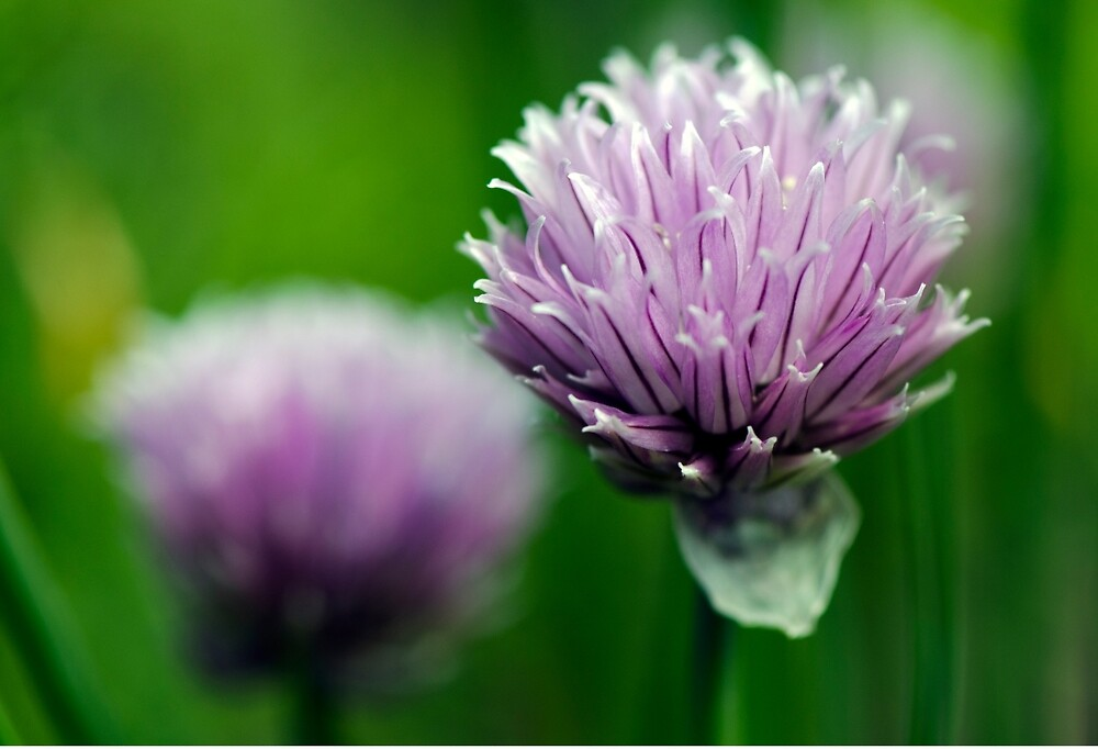 Cheerful Chives by imperfecteye