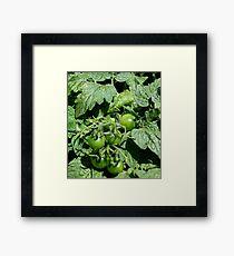 "Green Tomatoes, ""Unfried"" Framed Print"
