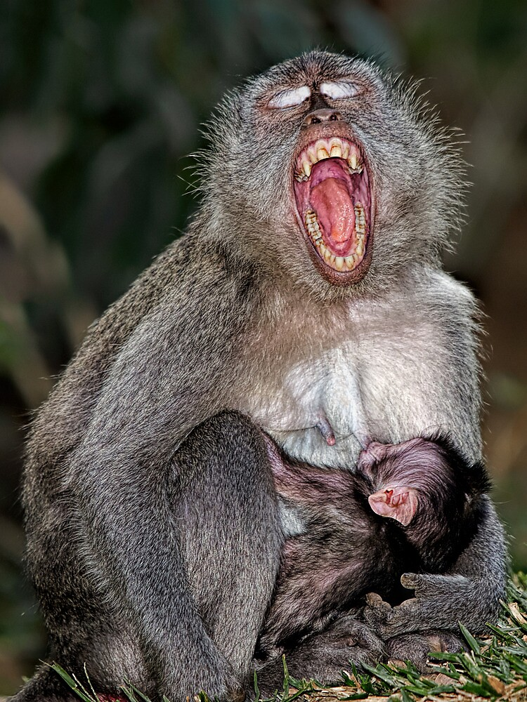 Mother and Baby suckling - Macaque by Henry Jager