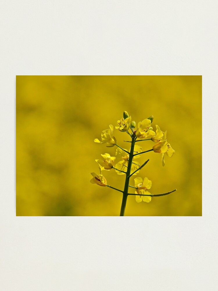 Alternate view of Yellow Flowers Photographic Print