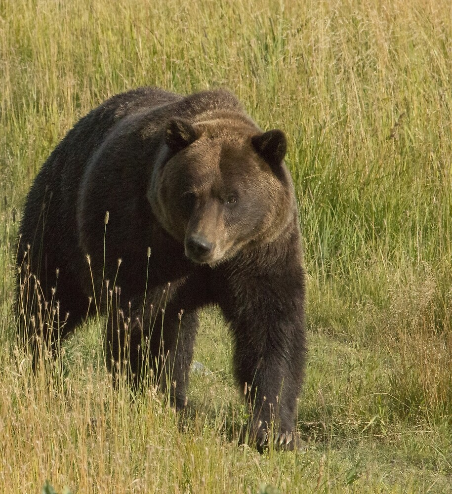 Oncoming Grizzly Bear by Dennis Deitz