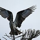 Osprey by Mike Fischetti