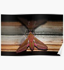 Nature macro: Elephant Moth  Poster