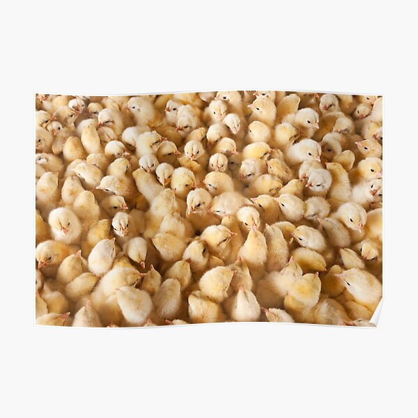 Large Group Of Baby Chicks On Chicken Farm Poster