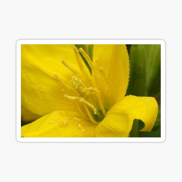 Primrose ~ Yellow Delight ~ close-up Sticker
