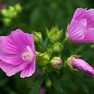 Delightful pink Mallow flowers by steppeland