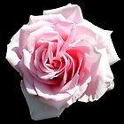 Pretty Pink Rose by hootonles