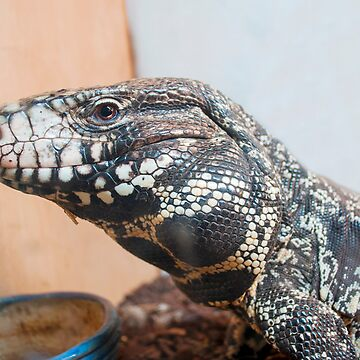 Dexter the Black and White Tegu.. by buddybetsy