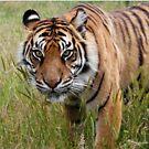 Tiger by daveashwin