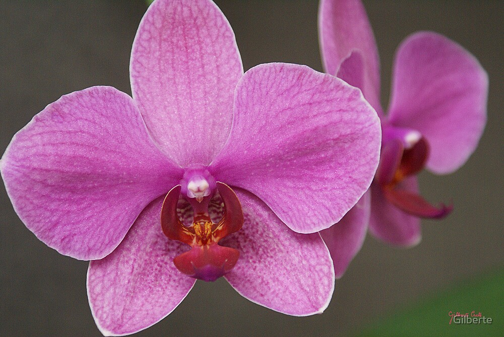 BOHEMIAN ORCHID by Gilberte