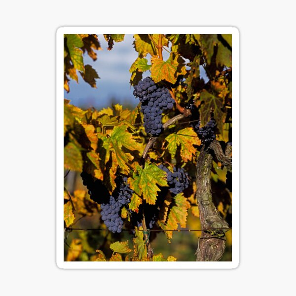 Juicy wine grapes ripe and ready for picking Sticker