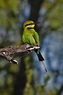 Rainbow Bee-eater by Robert Elliott