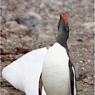 Gentoo Penguin ~ A cry for HELP ....... My world is melting by Robert Elliott