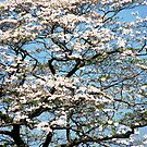 White Dogwood In May by AngieDavies
