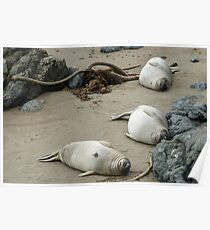 point piedras blancas seal colony Poster