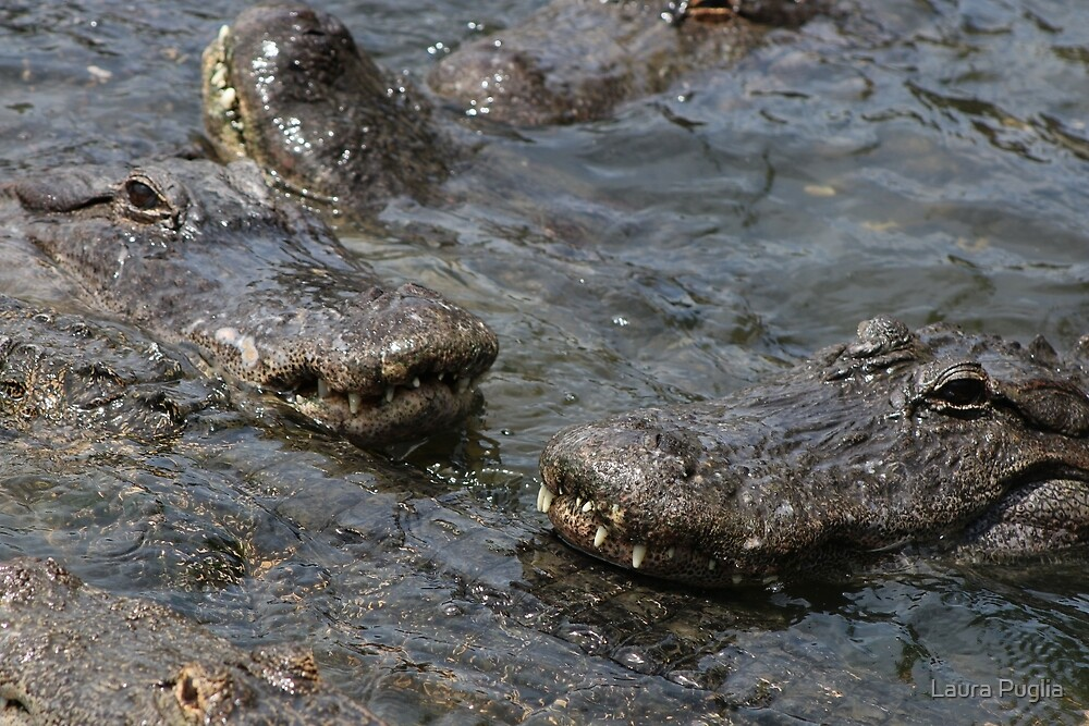 American Alligators by Laura Puglia