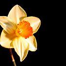 Daffodil by Lisa Kent
