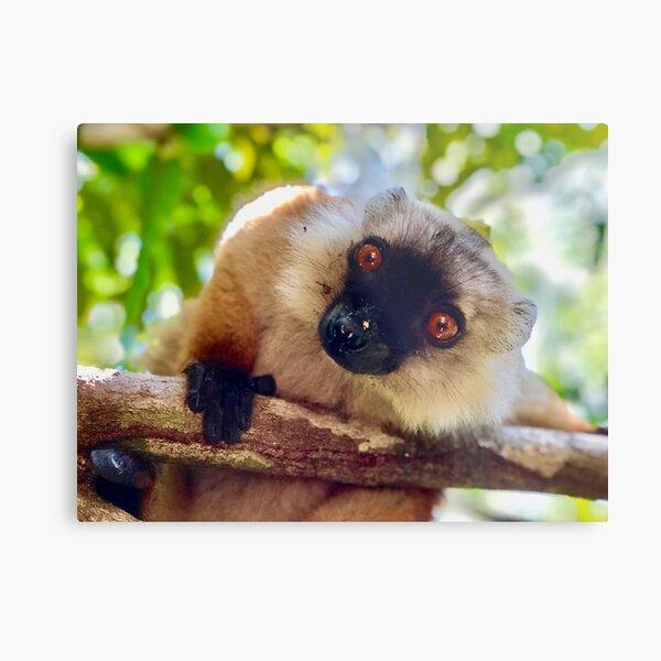 Sweet Lemur photgraphed by Noah (9 years old) Metal Print