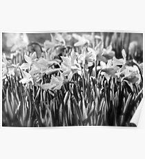 B&W Daffodils Poster