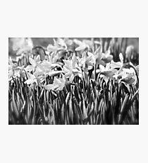 B&W Daffodils Photographic Print