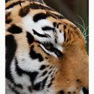 Tiger head close up by daveashwin