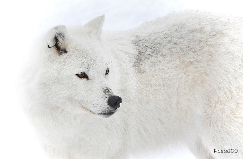 Snow Wolf... by Poete100
