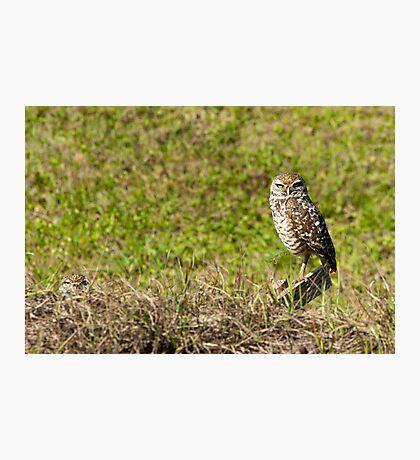 Burrowing Owl  Photographic Print