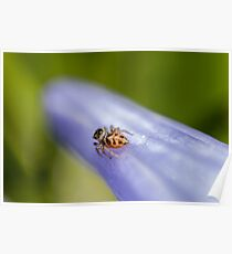 Macro Jumping Spider Poster
