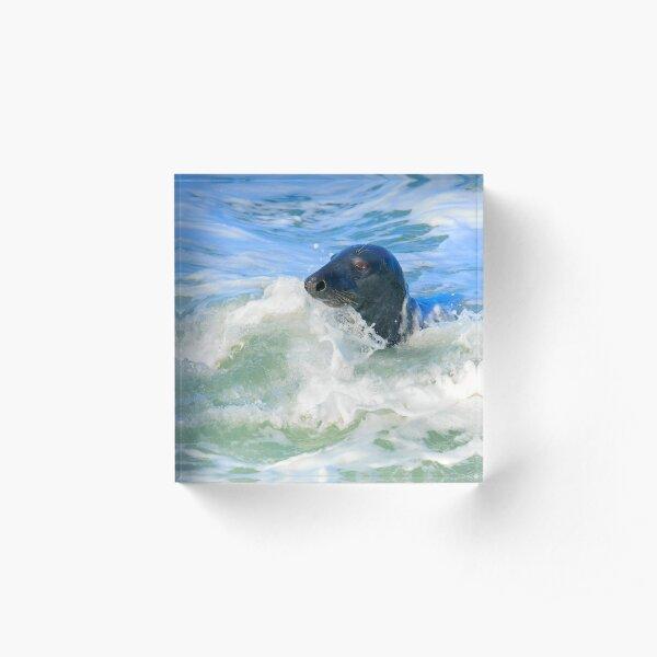 Grey Seal (Halichoerus grypus) Acrylic Block