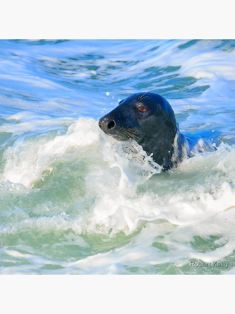 Grey Seal (Halichoerus grypus) by RobKellyPhoto