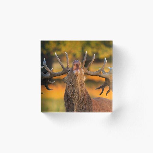 Red Deer Stag (Cervus elaphus) Acrylic Block