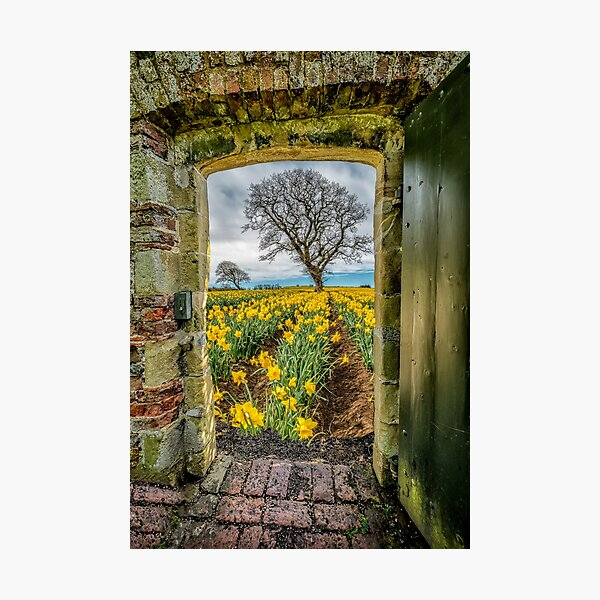 Field Of Yellow Daffodils  Photographic Print