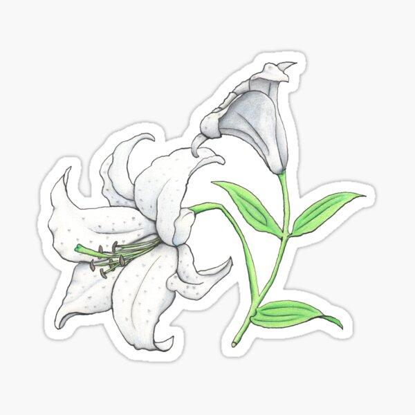 Lily (Lilium x cultorum 'Casablanca') Sticker