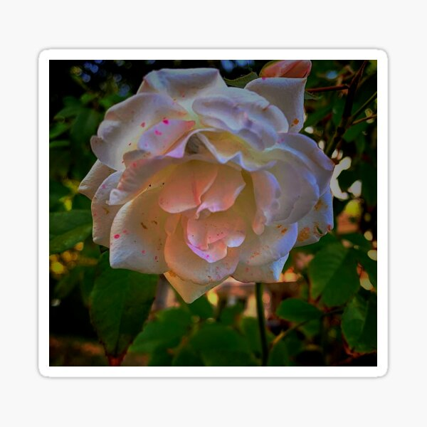 White roses on a Blue  sky By Yannis Lobaina  Sticker