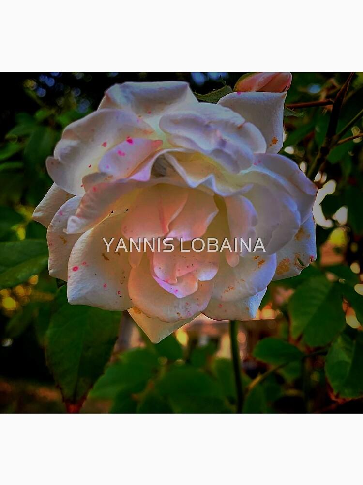 White roses on a Blue  sky By Yannis Lobaina  by lobaina1979