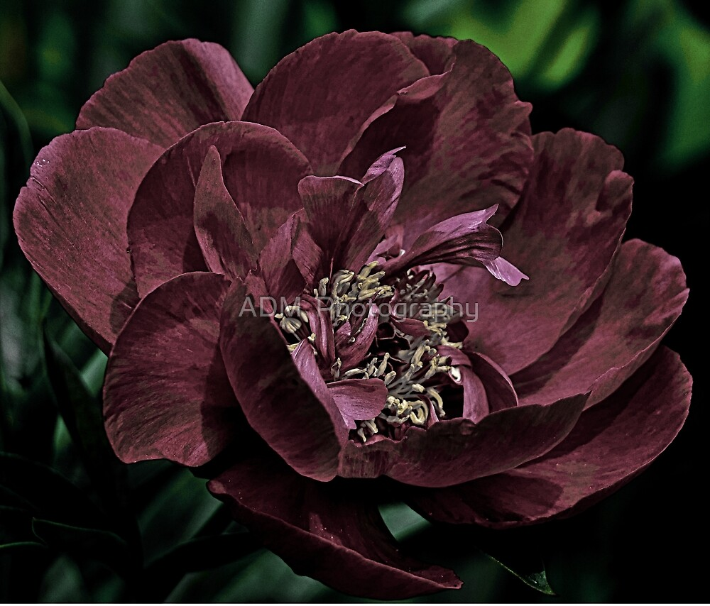 Peony with Little Color by Amber D Hathaway Photography