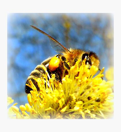 Bee with pollen on pussy willow Photographic Print